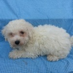 Bichon Frise -  Male