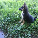 German Shepard - female