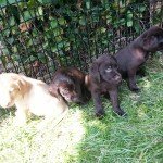Labrador  Retriever pups-
