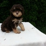 Mini-Poodle  -  male