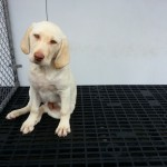 Labrador Retriever -  male