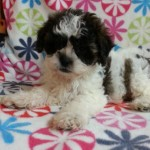 Shihtzu-Bichon  female
