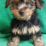 Yorkie Terrier -  male