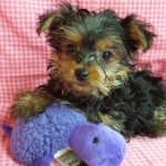 Yorkie Terrier -  female