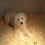 great pyrenese mix