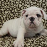 7/8 english bulldog