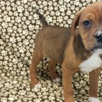 boxer-beagle mix