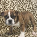 3/4 english bulldog