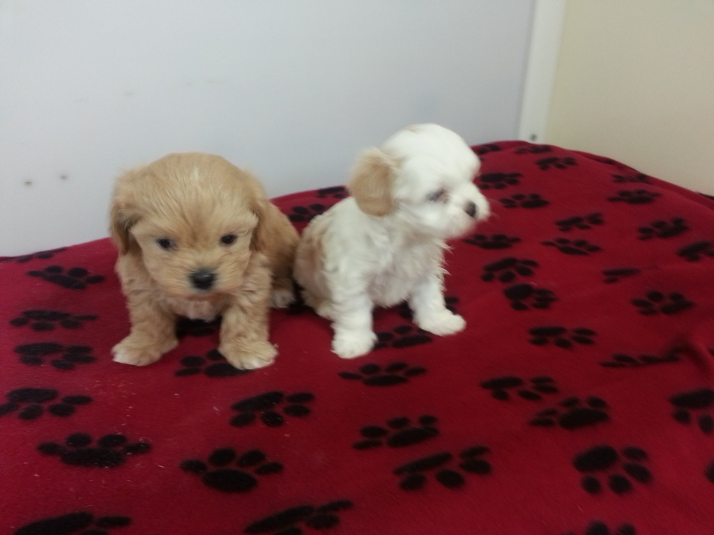 Buffalo Designer Dog & Puppy Breeder Puppies for Sale Dans Kennels