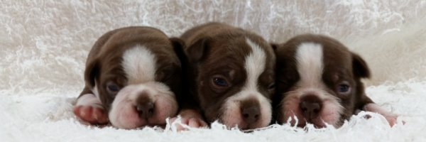 Buffalo Designer Dog & Puppy Breeder - Puppies for Sale